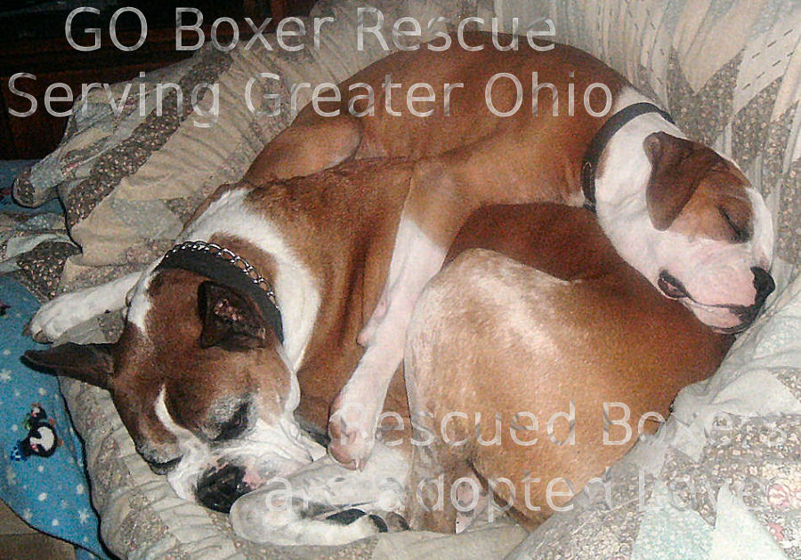 GO Boxer Rescue ~ Boxer Hugs, Kisses, and Cuddles