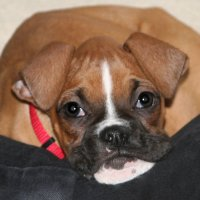Images of boxer puppies for sale in ohio valley area map